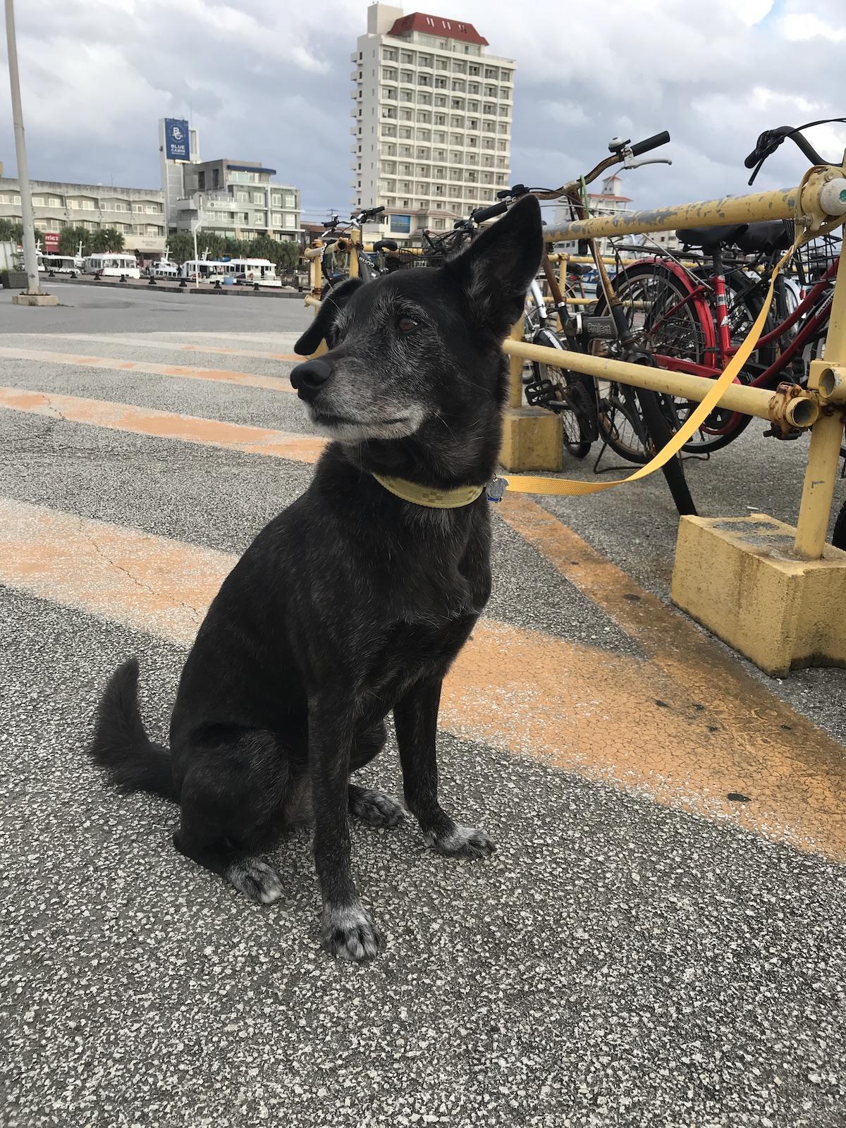 石垣島保護犬